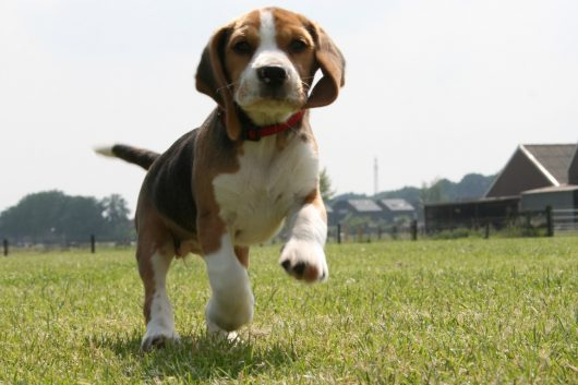 beagle-puppy-backgrounds